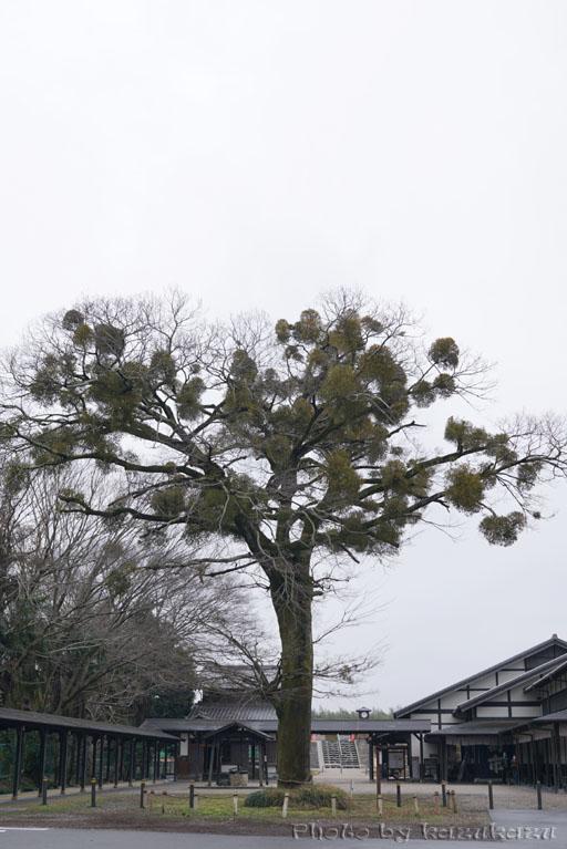 岐阜県美濃加茂市美濃加茂ツアーの中山道太田宿のエノキとヤドリギ
